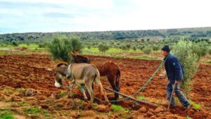 Traditional natural farming in Morocco